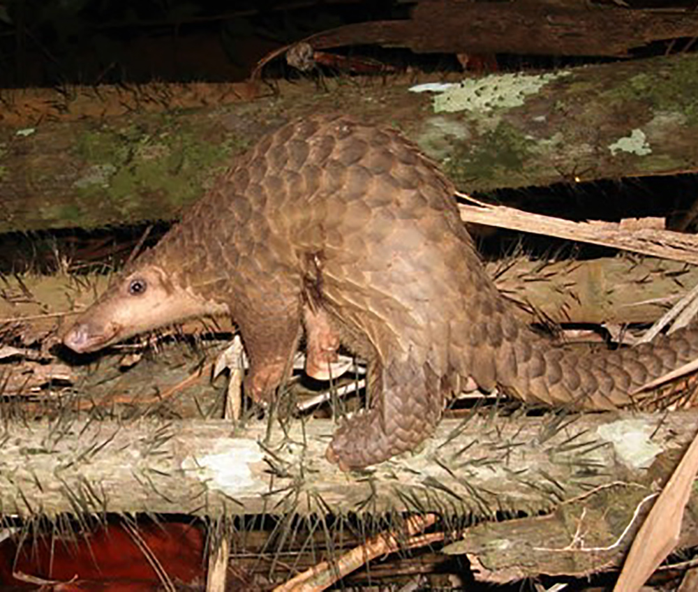 Pangolin_borneo  By Piekfrosch, CC BY-SA 3.0, https://commons.wikimedia.org/w/index.php?curid=1788311