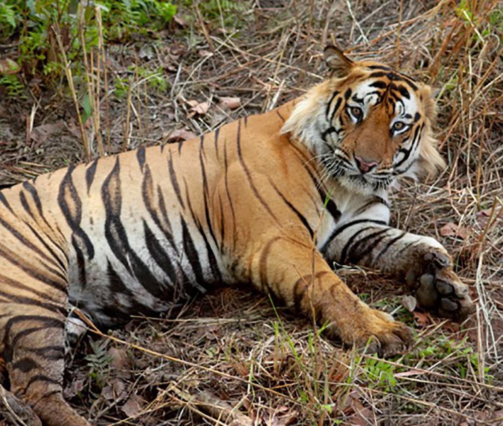 Male Bengal tiger  By Brian Gratwicke - Male bengal tiger - not too disturbed by the elephant, CC BY 2.0, https://commons.wikimedia.org/w/index.php?curid=8643152