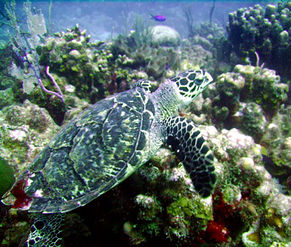 "Hawksbill sea turtle  By ""Taken by Colin Johnson on 12/15/2006."" - Transferred from en.wikipedia to Commons by Calliopejen1 using CommonsHelper., Public Domain, https://commons.wikimedia.org/w/index.php?curid=15265863"