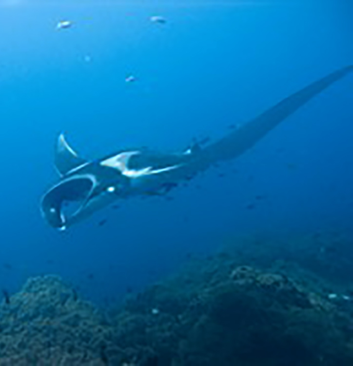 Manta birostris  By jon hanson from london, UK - Flickr, CC BY-SA 2.0, https://commons.wikimedia.org/w/index.php?curid=665502