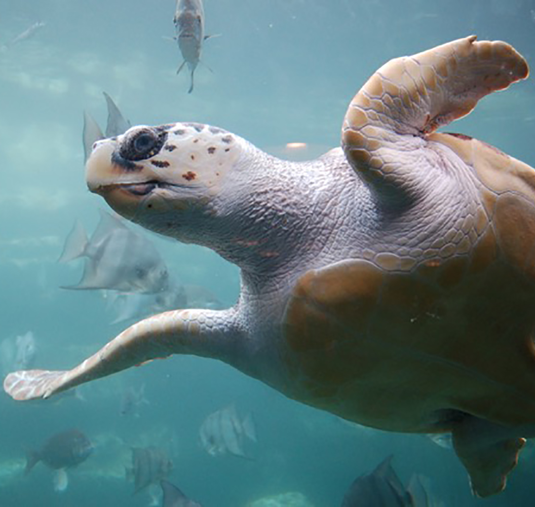 Loggerhead sea turtle  By ukanda - originally posted to Flickr as Loggerhead turtle, CC BY 2.0, https://commons.wikimedia.org/w/index.php?curid=10481668
