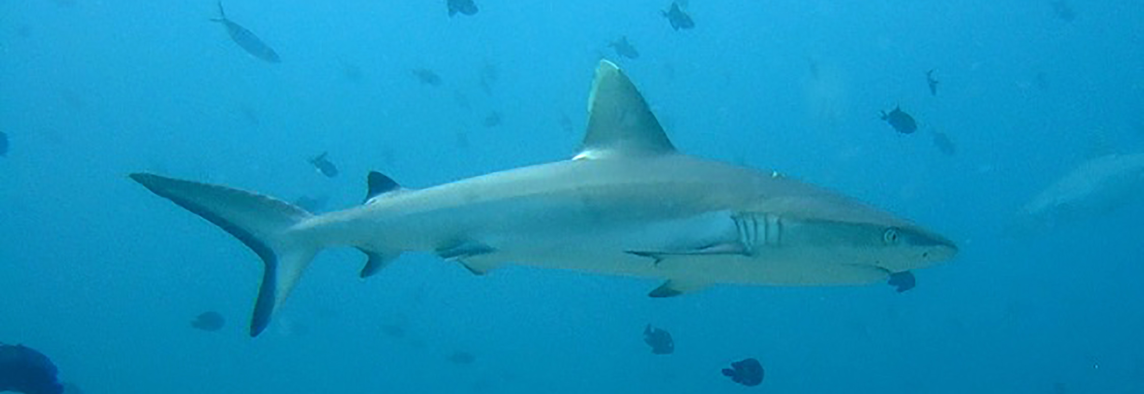 White tip reef shark Maldives  By Johnmartindavies - Own work, CC BY-SA 3.0, https://commons.wikimedia.org/w/index.php?curid=31245645