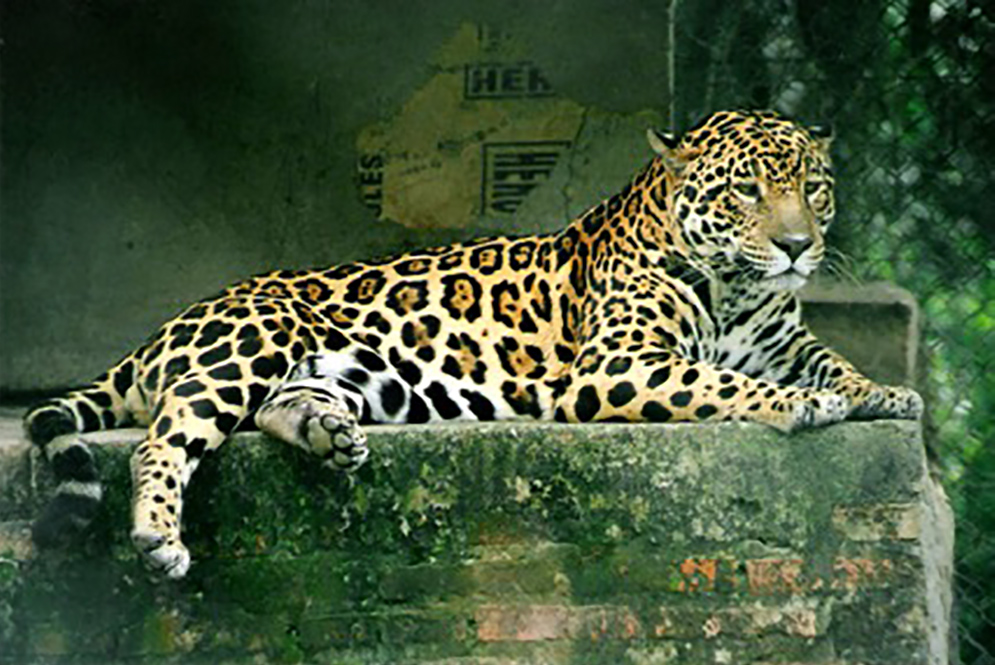Panthera Onca (jaguar in Argentina rescue)  By Lea Maimone - Own work, CC BY-SA 2.5, https://commons.wikimedia.org/w/index.php?curid=100019